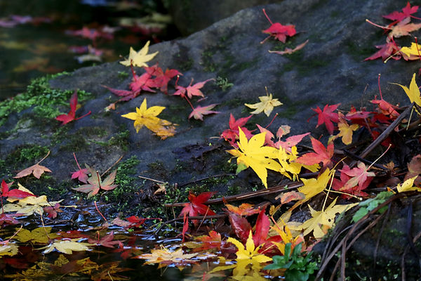 Autumn River Leaves