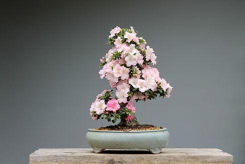 Bonsai Planta Flores