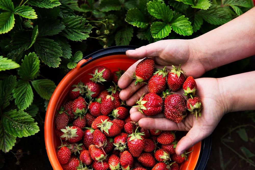 A basket of fresh garden strawberries