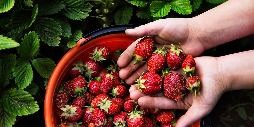 Strawberries PYO