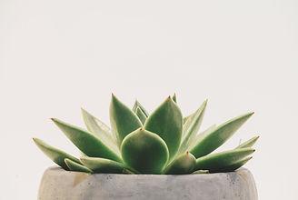 Plante succulente verte