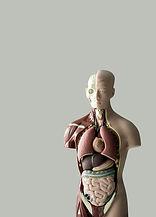 Modelo anatómico