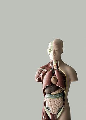 解剖学的モデル