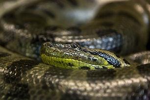 Snake venom as medicine