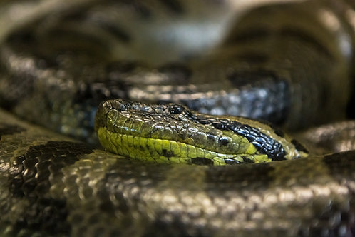 Snake & Samhain