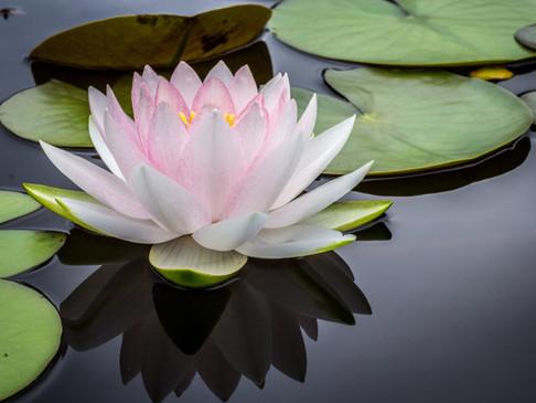 July Birth Flowers: Water Lilies & Larkspurs