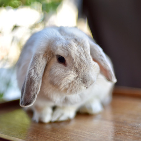 Rabbit Vaccinations – They warren some attention!