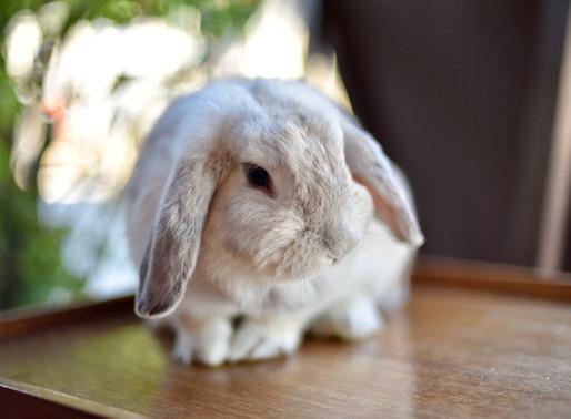 Relâcher un lapin domestique : Une fausse bonne idée