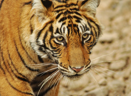 Uranium Mining in the Second largest Tiger Reserve in India | Where are we headed?