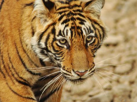 Goda nyheter: Första landet där antalet tigrar nästan fördubblats