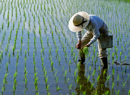 Vietnam Rice Producer - Rice Production in Vietnam