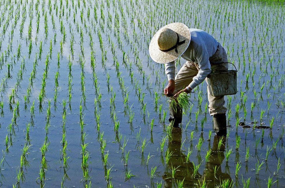 採用有機或無毒小農白米