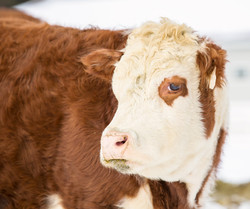 Portrait de vache