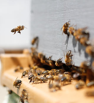 Bees on an entrance