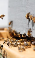 Arılar sürüsü