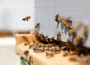 The Human Species Depends On Bees