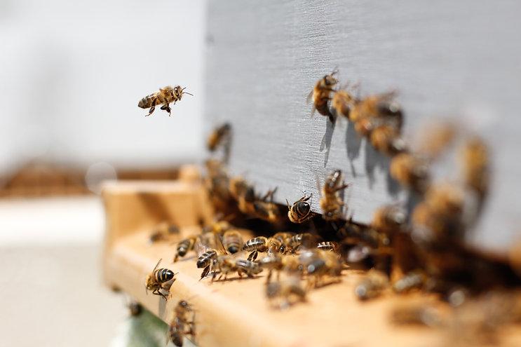 Svärm av bin