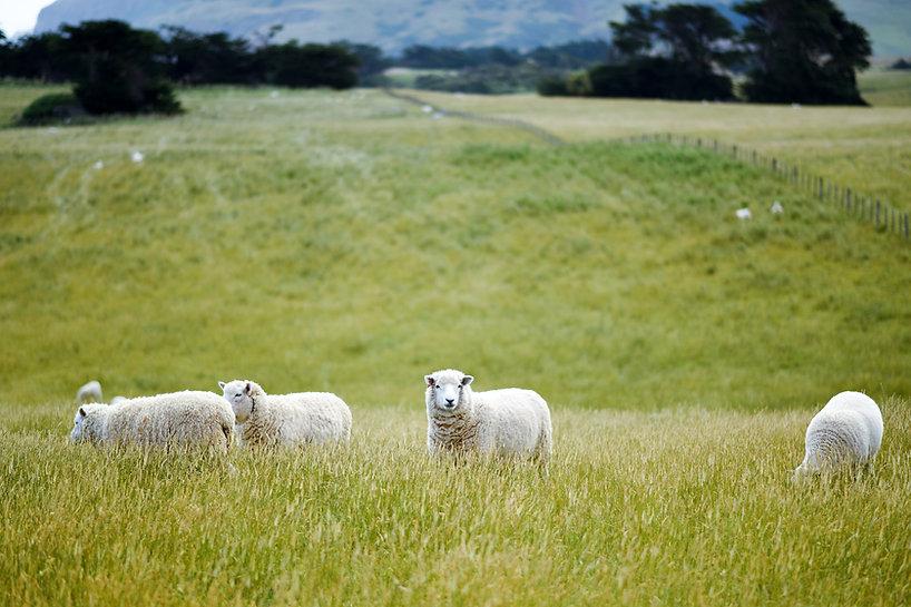 Sheep in Open Fields