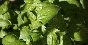 Two Great Ways To Use Homegrown Basil Year-round