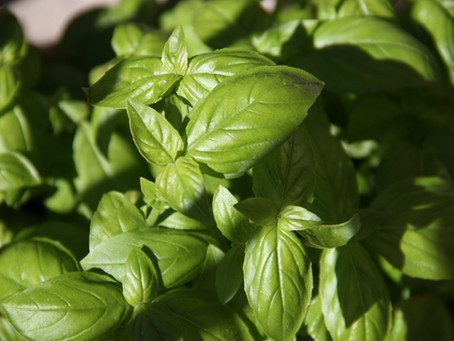 Know Your Ingredients - BASIL