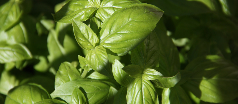 Being Successful Growing Basil