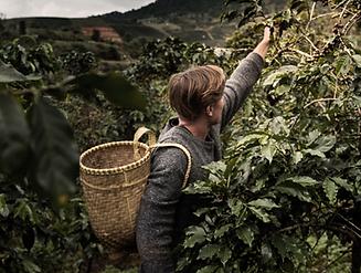 Plantacion de cafe