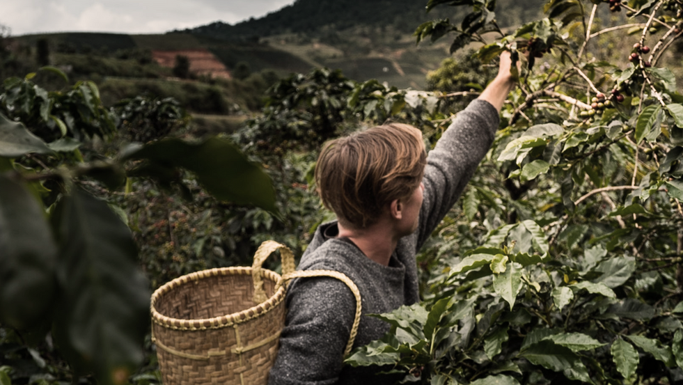 Learn about coffee harvesting