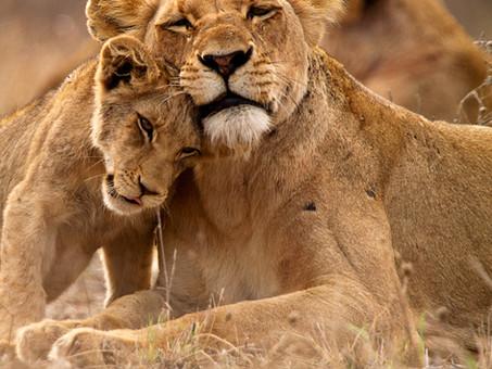 """Leão, """"Le Magnifique"""" (O Magnífico)"""