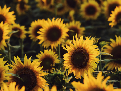 Confessions of a Sunflower