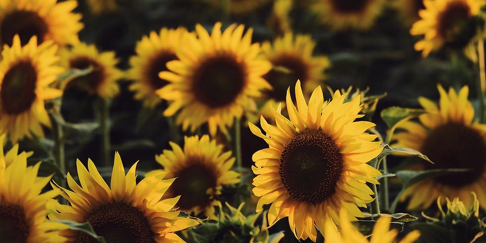Leeds Farm Sunflower Festival