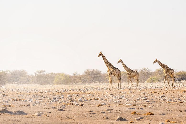 Herde von Giraffen