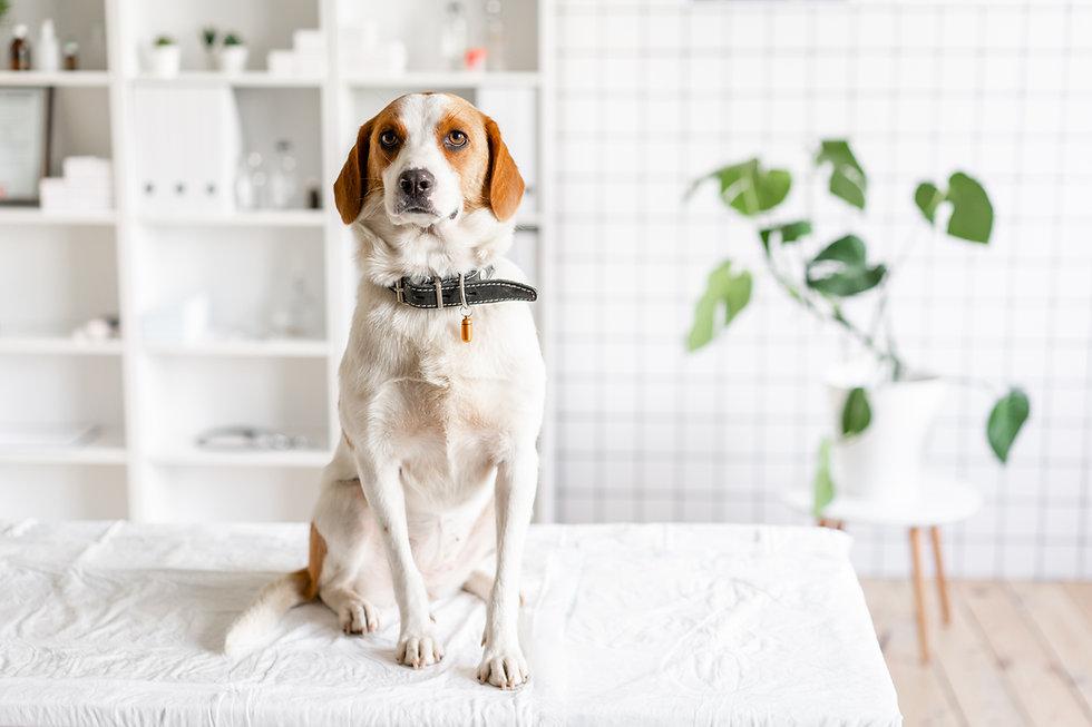 診療台の上で獣医を待つ犬 クリニックのぼやけた背景