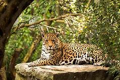 Rustende tijger