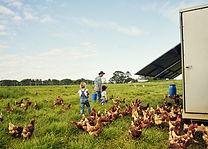 Krmení kuřat