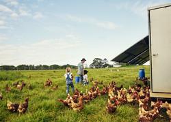 Alimentando a los pollos