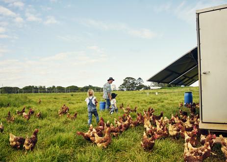 Nourrir les poulets