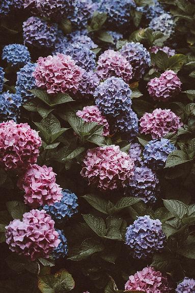 Hydrangeas in Bloom