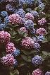 盛開的繡球花