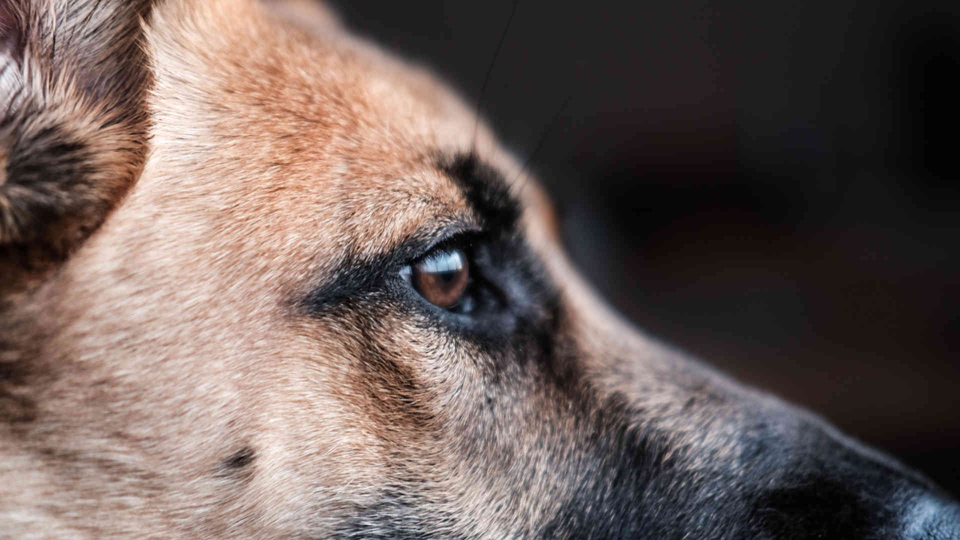 Perfil de perro