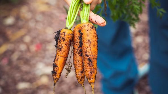 organische Karotten