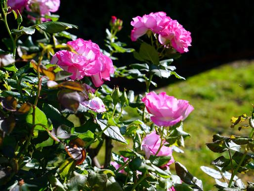 Hicaz Bahçesi'nin has gülleri TAİF