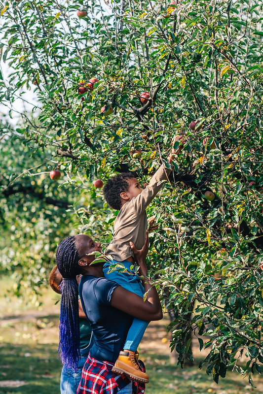 Picking Apples in Orchard