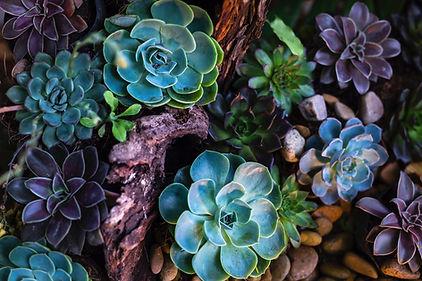 緑と紫の多肉植物