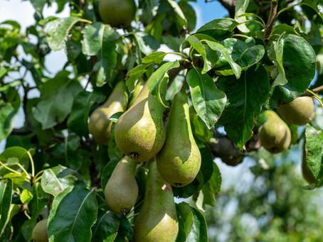 Niedrig hängende Früchte