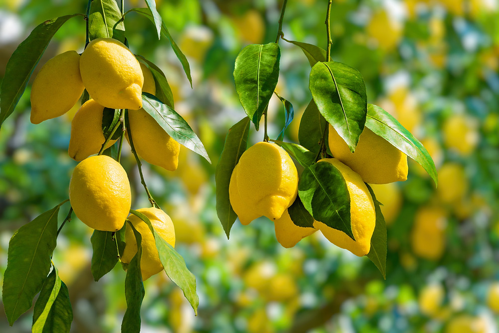 smelling lemons is uplifting, like a Salt & Oil Uplifting bath soak or body scrub in the shower.