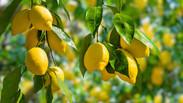 I fitochimici della buccia di limone possono migliorare la memoria ?