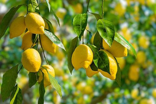 Lemon Tree - Eureka