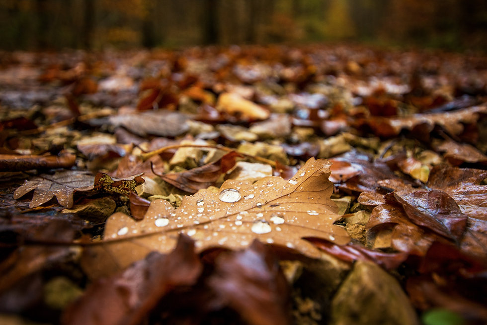 Wet Autumn Leaves