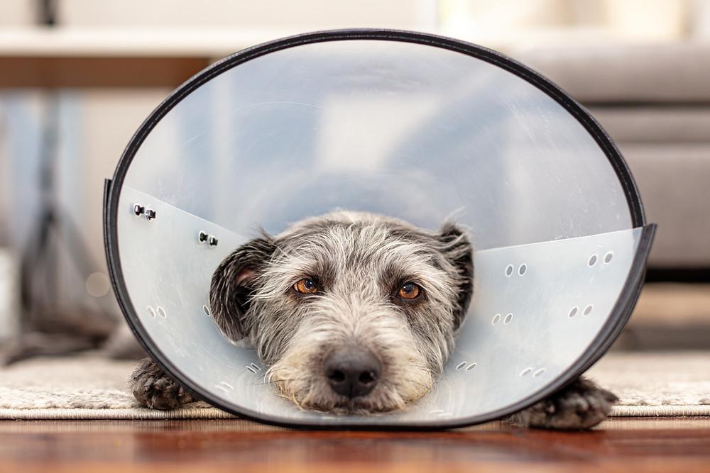 Dog looking sad wearing a cone.