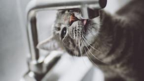 Managing Treatment of Diabetes Mellitus in Your Cat